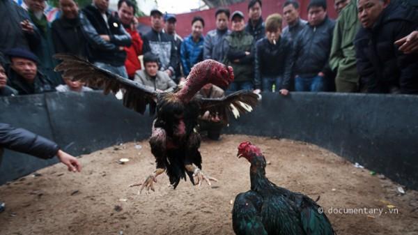 Chọi gà ở hội làng Triều Khúc (Thanh Trì - Hà Nội). (Ảnh: Thành Long/documentary.vn)